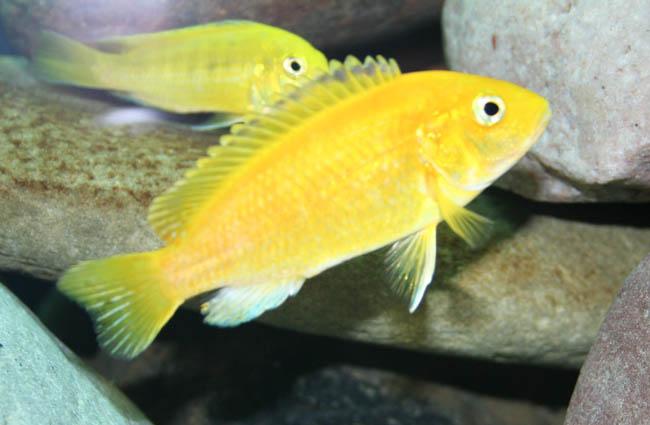 the gallery for gt labidochromis caeruleus albino